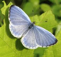 Spring Azure Butterfly (Butterflies and Moths of Floracliff Nature ...